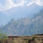 Утро в Гималаях