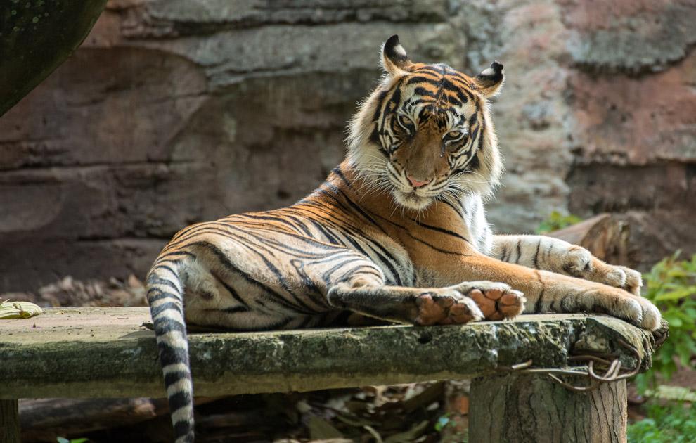 Тигр. Заповедник Панпата