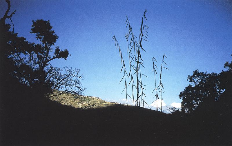Arundinaria, nigalo, ningalo, tama, ringal bans, шаманское растение силы. Шаманские растения Непала