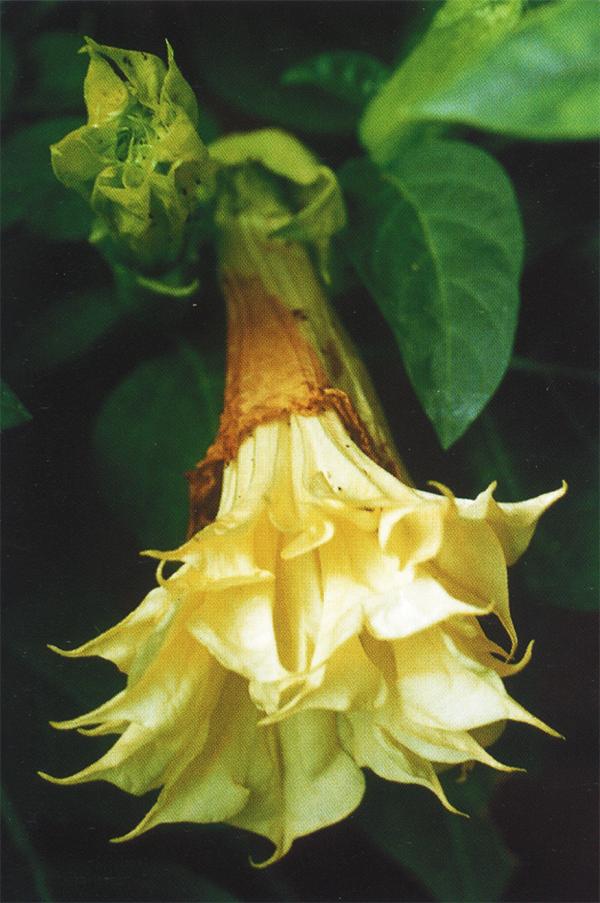 """Бругмансия, """"труба ангела"""" (Brugmansia sp.) исторически не росла в Непале. Она была, вероятно, привнесена в Непал в шестнадцатом или семнадцатом столетии и быстро заслужила уважение как растение из сада Шивы - бога растений."""