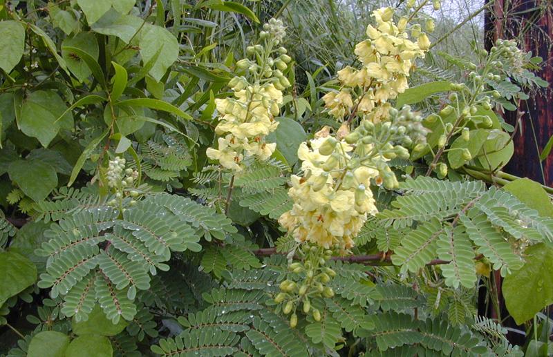 Mala bung-Caesalpinia decapetala (Roth) Alston (Leguminosae). Шаманские растения Непала