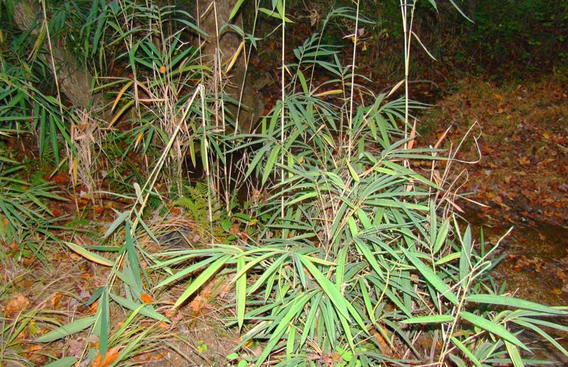 Арундинария, Высокогорный бамбук - Nigalo - Arundinaria spp., Gramineae. Шаманские растения Непала