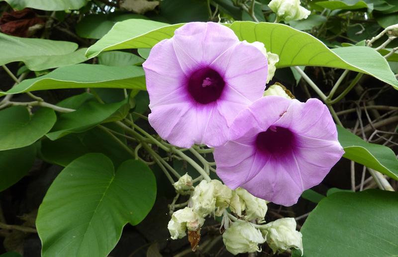 Аргирея - Samundra phul-Argyreia nervosa (Burm.f.) Boj. (Convolvulaceae). Шаманские растения Непала