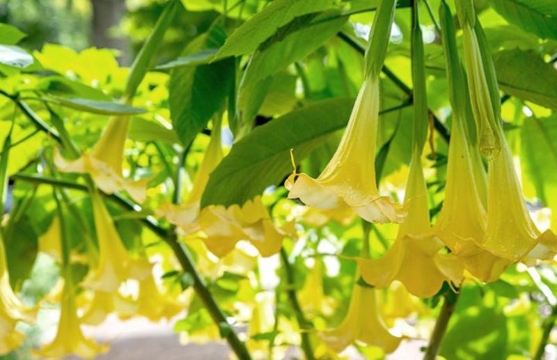 Бругмансия - Siva Ghanta-Brugmansia spp. Шаманские растения Непала