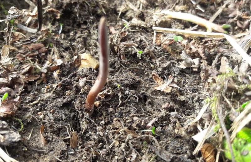 Кордицепс в Гималаях, Cordyceps sinensis. Шаманские растения Непала